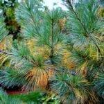 Las agujas de pino acidifican el suelo.