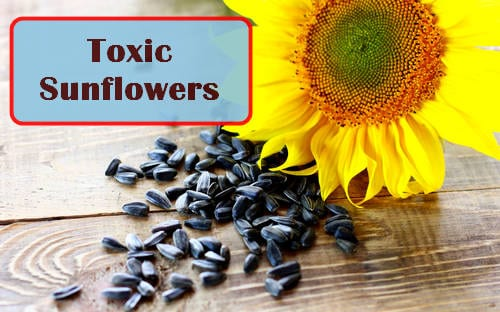 Can Sunflower Seed Hulls Harm Plants - Are They Allelopathic, Photo credit: torange.biz