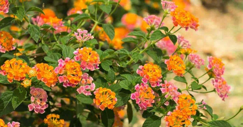 colorful summer flowering lantana