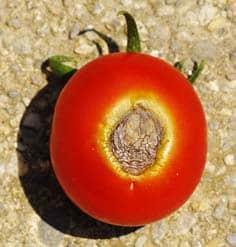 Las manchas negras en los tomates pueden estar pudriéndose al final de la flor.