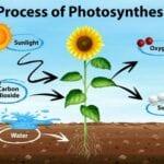 Las plantas no producen oxígeno (O2) a partir del dióxido de carbono (CO2)