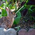 Liquid Fence Review Repelente de ciervos y conejos
