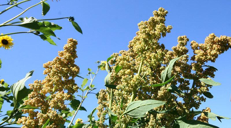Semillas de quinua orgánicas certificadas