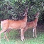 Flores, hierbas, arbustos y árboles resistentes a conejos y ciervos