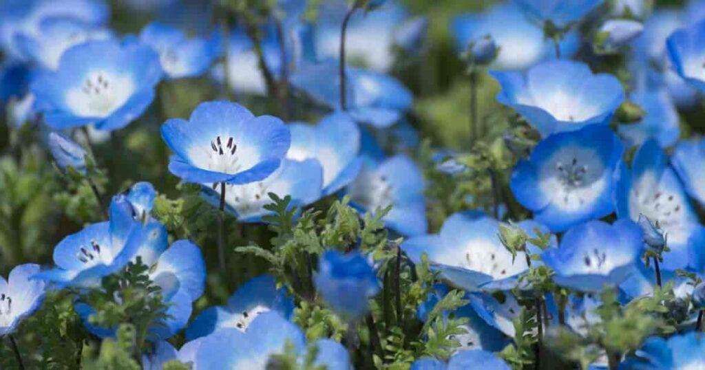 Pretty Baby Blue Nemophila flowers