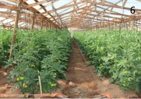 Lucha contra los nematodos en el cultivo del tomate