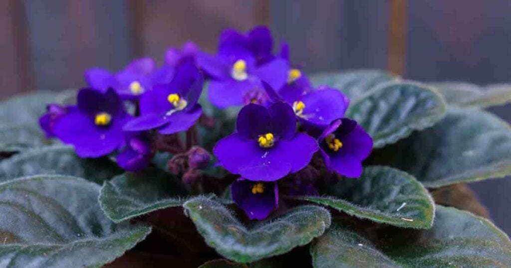 Wick watering is the easiest and safest way to water African violets and other house plants.