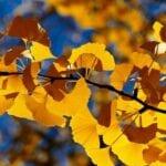 Información del árbol de Ginkgo Biloba - El árbol de culantrillo