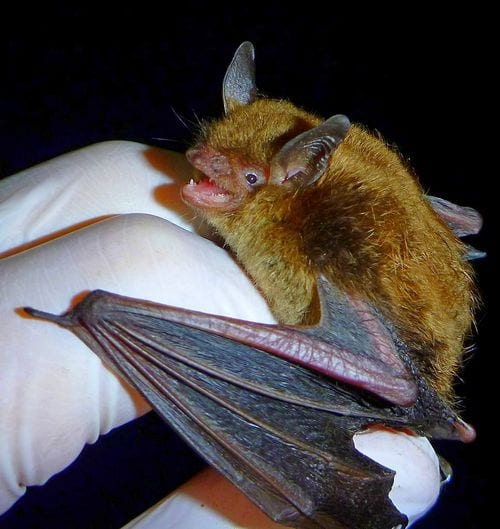 A Myth is Born - Do Bats Eat Mosquitoes