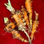 Nematodos y caléndulas: mitos del jardín