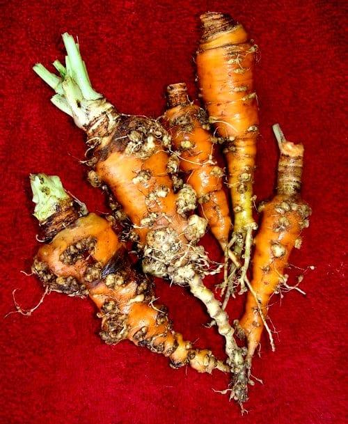nematodes and marigolds - Root knot nematodes on carrots