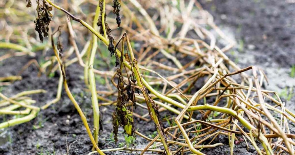 Over-watering plants cause root rot, fungus and eventual death