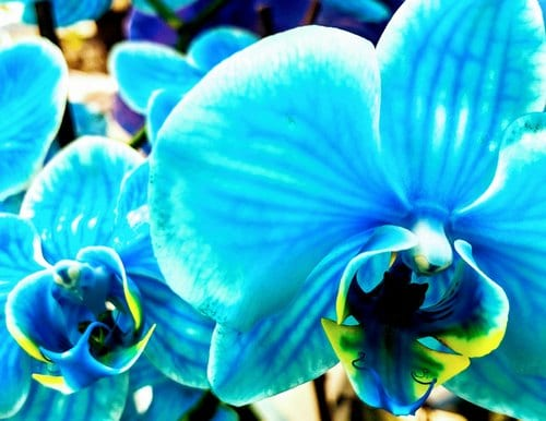 Blue Orchids - Are they Real or Dyed?
