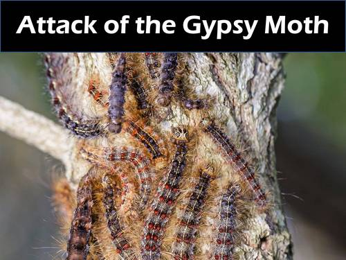 Gypsy Month Caterpillar - Proper Identification and Control