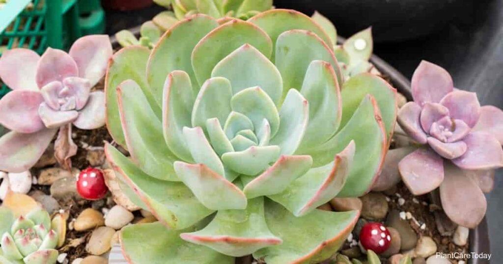 versatile echeveria succulent plant