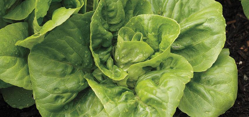 Cultivar lechuga de densidad invernal a partir de semillas