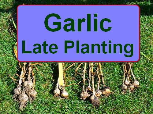 Planting Garlic - How Late is Too Late, by Robert Pavlis
