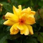 Plantar, regar, fertilizar y podar rosas