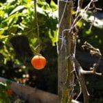 Plantar semillas y bulbos, cosechar papas, perennes partidas ⋆ Great Gardening Blog