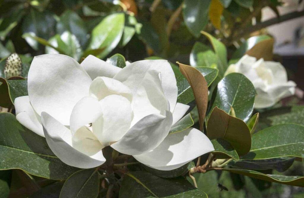 magnolia-flower-10312015
