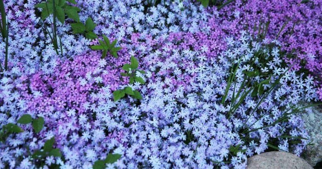 ground cover plants - phlox