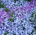 Plantas de cobertura del suelo -