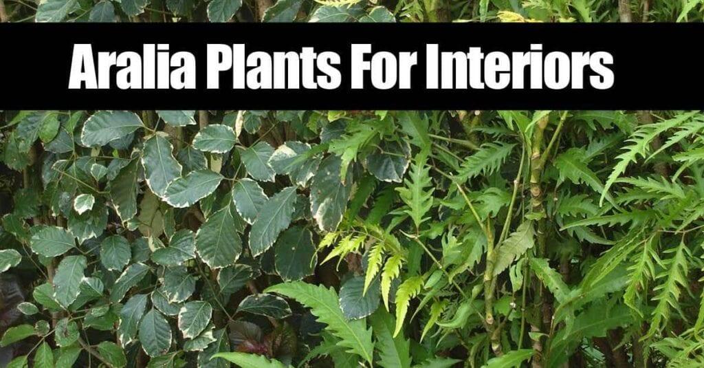 aralia-plants-093014