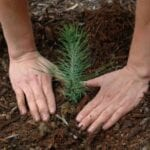 Plántulas de árboles a granel para plantar grandes áreas ⋆ Great gardening blog