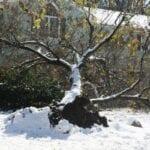 Por qué la nieve causa más daño a los árboles en otoño que en invierno Gran blog sobre jardinería