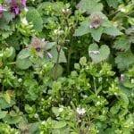 Preparación de macizos de flores: semillas de la costa oeste
