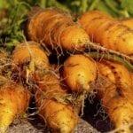 Preparación del suelo, siembra y cosecha de la zanahoria