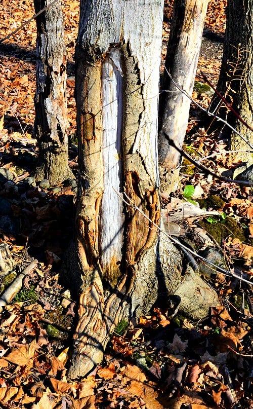 sunscald on sugar maple tree, prevention, by Robert Pavlis