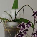 Regar las orquídeas con cubitos de hielo.