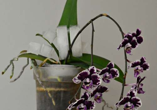Watering Orchids With Ice Cubes 2