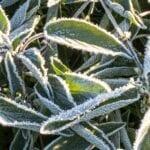 Reloj de escarcha |  Protección de cultivos de otoño - estiercoles