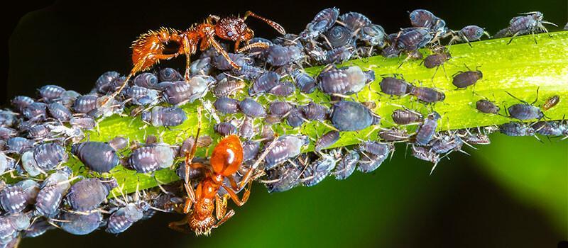 ¿Las hormigas cultivan pulgones?