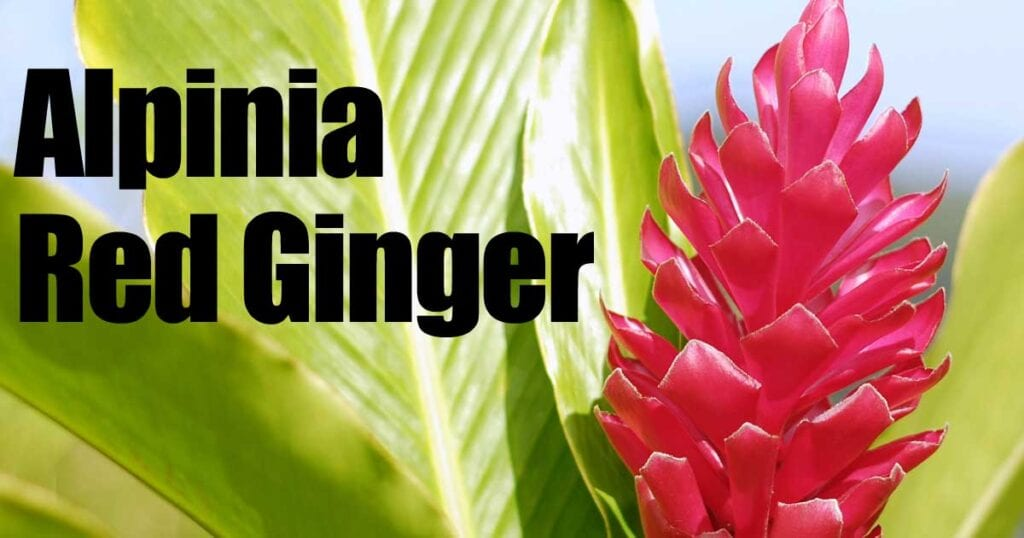 alpinia-red-ginger-113014