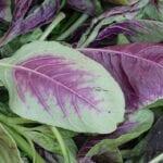 Sobre el amaranto    Cómo cultivar amaranto - estiercoles