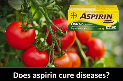 Aspirin Spray for Tomatoes and the Vegetable Garden