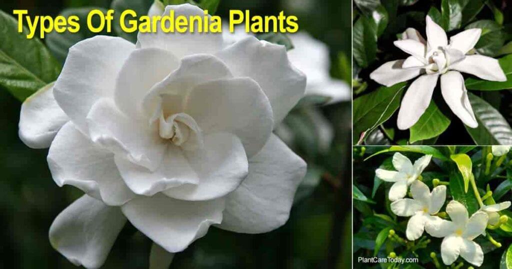 Tipos de plantas de gardenia, paisaje y macetas.