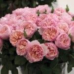 Tipos populares de rosas |  Blog de jardinería con Estiercoles.coms