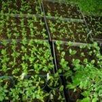 Tomates de semilla de inicio |  Intercambio de semillas de exposición al sur