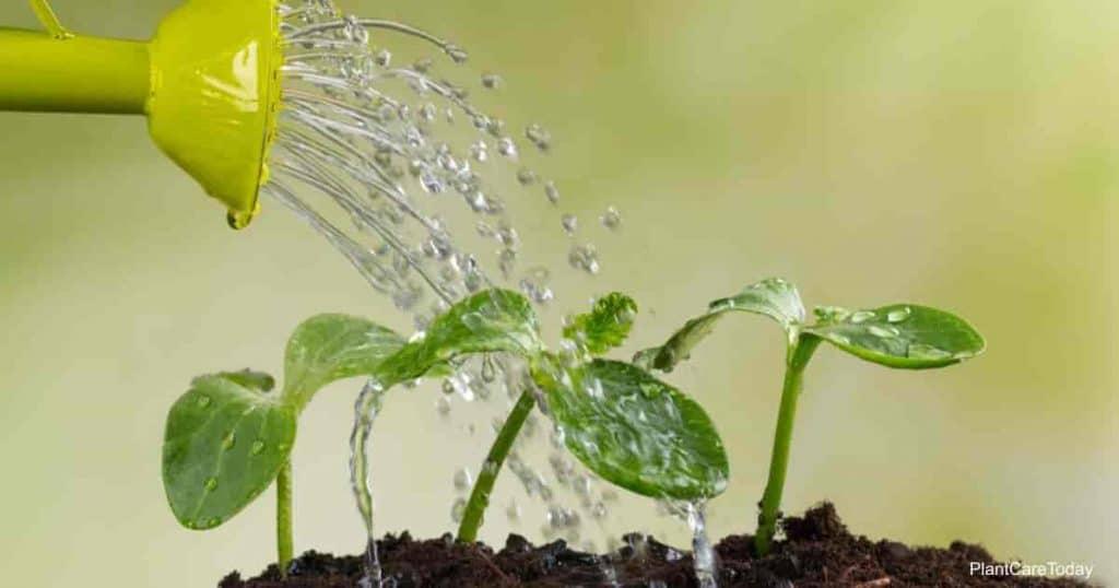 Riego de plantas jóvenes con fertilizante de trasplante.