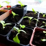 Trasplante de plántulas |  Blog de jardinería con Jung Seeds