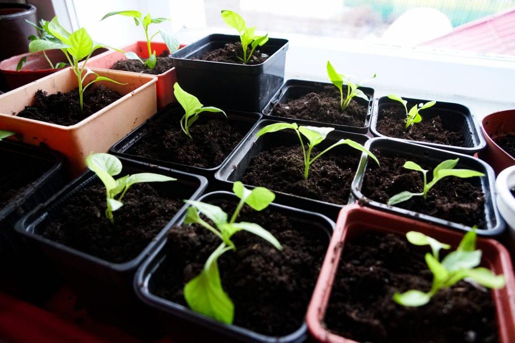 Plántulas que crecen en contenedores individuales.