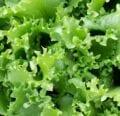 Un mundo de ensalada verde - West Coast Seeds