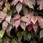 Información de la planta de cobre de acalinfa: consejos sobre el cultivo de plantas de hoja de cobre