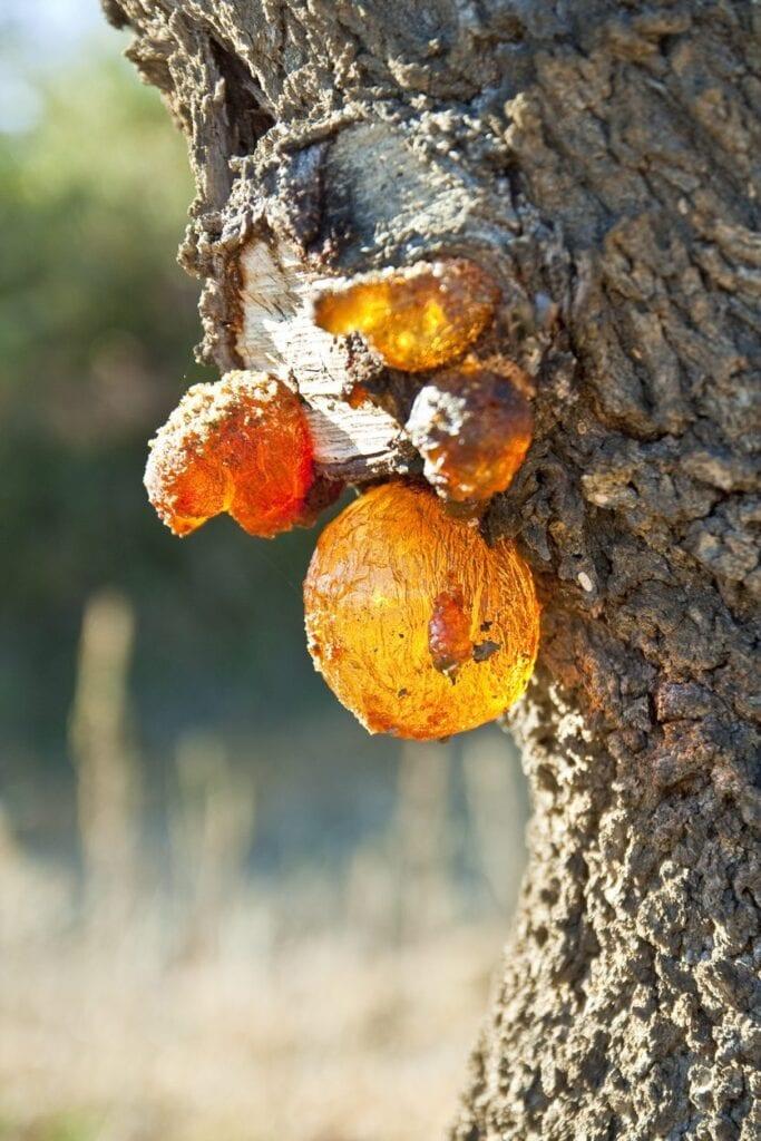 Enfermedades comunes de los árboles de almendras