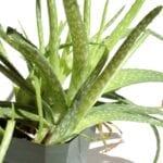 División de plantas de aloe: cómo y cuándo separar las plantas de aloe
