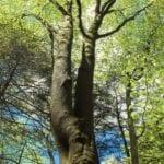 Plantación de árboles de haya - Tipos de árboles de haya para el paisaje